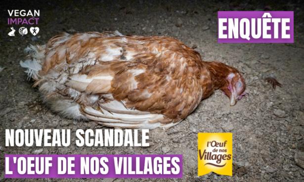 """Nouveau scandale dans l'élevage de """"L'Œuf de nos Villages"""" : Exigeons sa fermeture !"""