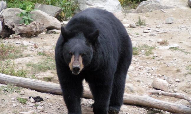 Pour la condamnation des personnes qui consomment de la bile d'ours !