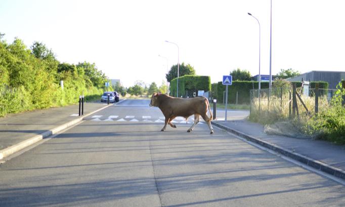 Demandons au gouvernement de protéger les animaux qui s'évadent des élevages et des abattoirs