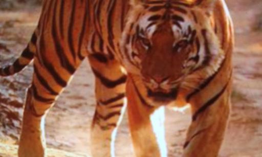 Contre le braconnage du tigre