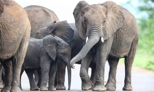 Pétition : Contre le braconnage de l'éléphant !