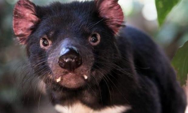 Sauvons le diable de Tasmanie