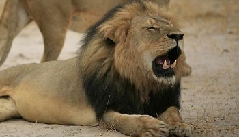 Petition : Justice for Cecil, the famous black maned lion from Zimbabwe, killed...