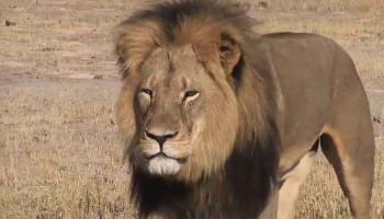 Pétition : Le lion Jericho, menacé au Zimbabwe !