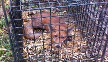 Pétition : Contre le massacre gratuit de nombreux renards dans nos communes !