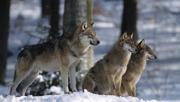 Plus de protection pour les loups