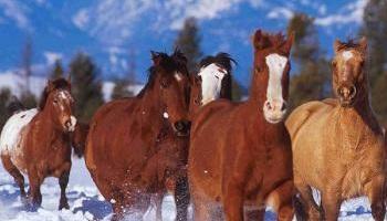 Sauvons les chevaux : stop aux calèches dans le vieux Québec