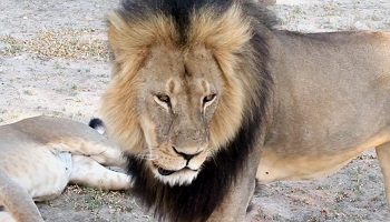 Cecil le lion ne doit pas être mort en vain