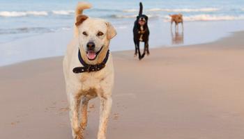 Pétition : Plus de tolérance pour les chiens sur les plages