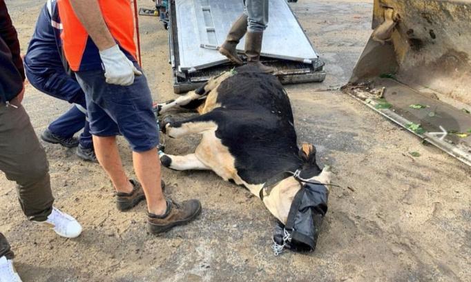 Sauvons cette vache courageuse