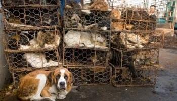 Pour la fermeture des fermes à fourrure en Europe et le boycott du commerce avec la Corée du Sud jusqu'à fin du martyr des chats et des chiens du pays