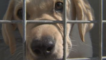 Pour que la reproduction de chiens chez les particuliers soit limitée