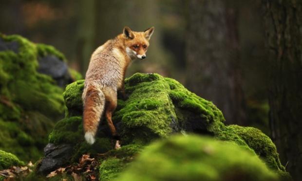Non à l'abattage des renards dans l'Oise