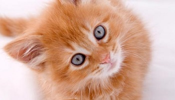 Le chaton Caramel porteur de leucose a été euthanasié