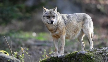 Arrêt de l'abattage des loups