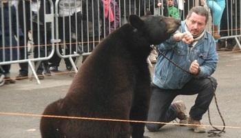 Faire cesser l'exploitation des ours dans des fêtes foraines