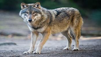 Pour la réintroduction du loup dans le Bois de Boulogne et la forêt de Rambouillet
