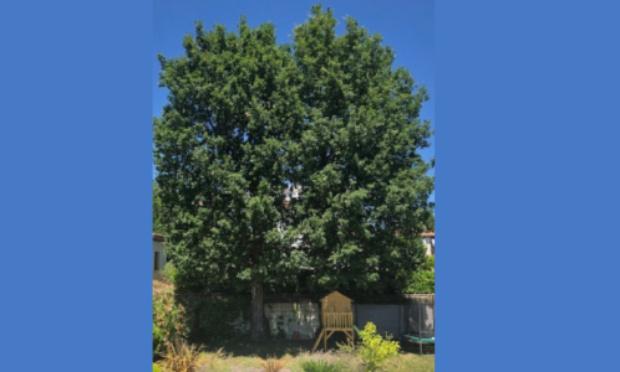 Protection de chênes trentenaires