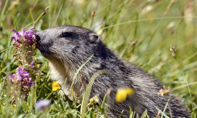 Sauvons les Marmottes