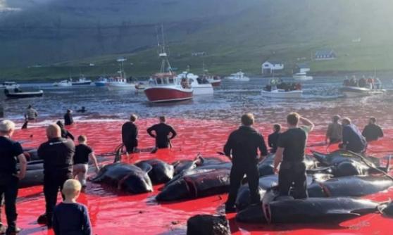 Que le massacre des dauphins des îles Féroé soit interdit définitivement !