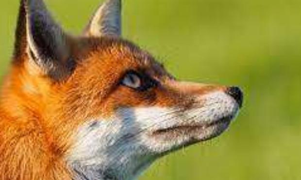Non à l'abattage des 1700 renards dans l'Oise
