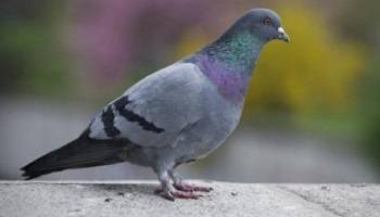 Stop à l'euthanasie des pigeons à Rouen par gazage au CO2 et mise en place de pigeonniers stérilisants