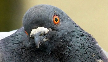 Contre le gazage totalement injustifié de nos amis pigeons à Arras