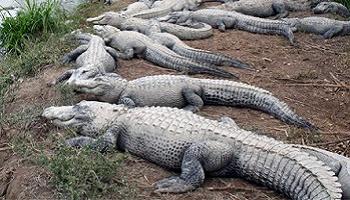 Pour l'arrêt des fermes d'élevages de crocodiles pour leur cuir