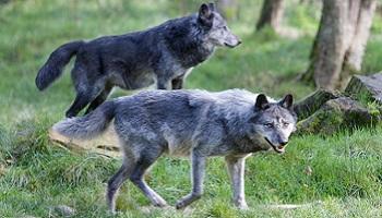 Le respect de l'espèce animale, de son utilité dans l'harmonie de la nature, et la fin de la chasse aux loups