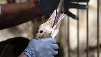 Pétition : Pour l'arrêt du gavage forcé des oies et canards, source de grandes souffrances