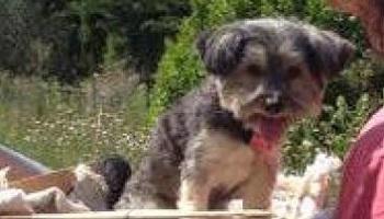 Pétition : Aidez-nous à retrouver la chienne Lily-Rose