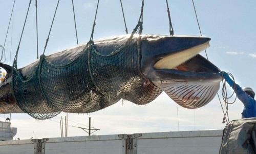 Stoppons le massacre des baleines