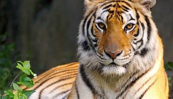 Abandon du massacre des tigres