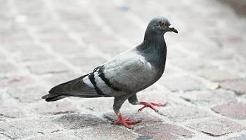 Pétition : @francoisbaroin Pas de stérilisations chirurgicales des pigeons sans anesthésie à Troyes !