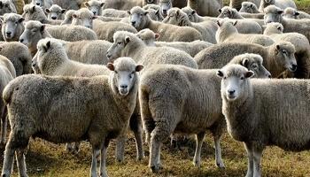 Respectons les moutons !