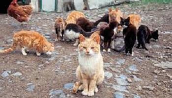 Pour l'identification et la stérilisation des chats errants sur la comunauté de communes et notament à Mamers
