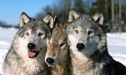 Stopper la chasse des loups en France