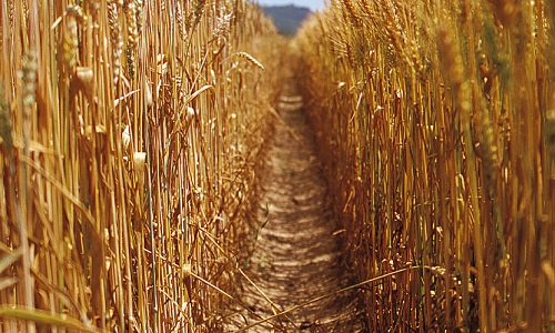 Pétition : Relance de la culture des blés anciens pour une alimentation sans excès de gluten