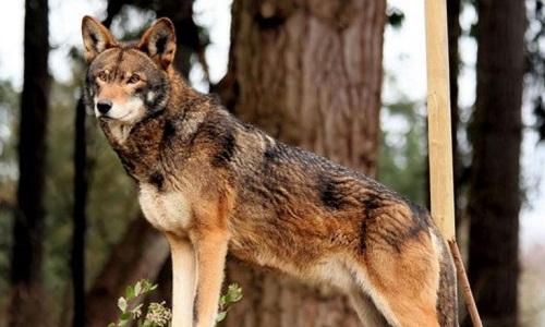Des Loups Roux au Zooparc de Beauval pour la protection de l'espèce !