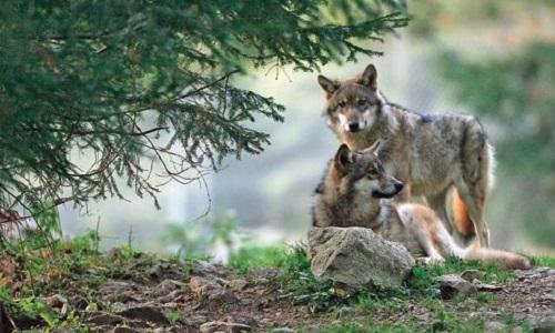 Contre la multiplication des loups en France