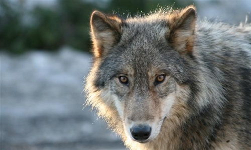 Pétition : Non à l'abattage des Loups en France !
