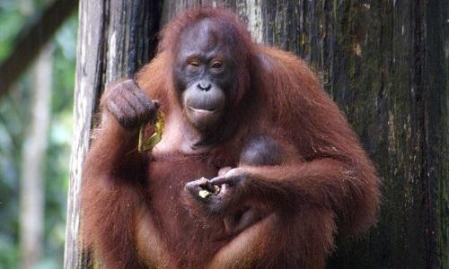Un mâle Orang Outan à la ménagerie du Jardin des Plantes