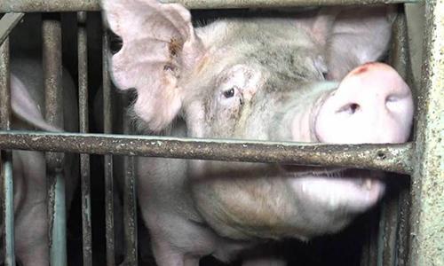 Pétition : Pour une vidéo-surveillance obligatoire dans les abattoirs !