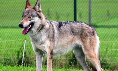 Sauvons les chiens-loups !