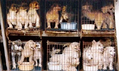 Non à la cruauté normalisée dans l'élevage des chiens!