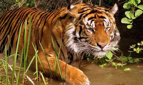 Pétition : Sauvez les tigres !