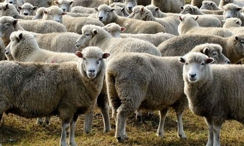 Non à l'abattage rituel hallal des moutons