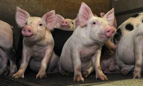Non à l'extension de la porcherie-usine de St Symphorien en Gironde déjà en surcharge !