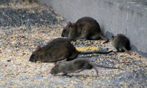 p tition pour une d sinfection des rats. Black Bedroom Furniture Sets. Home Design Ideas