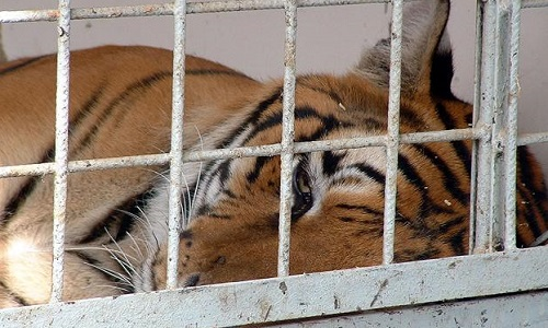 STOP aux cirques avec animaux à Saint Chamond et alentours